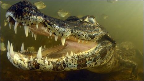 Marcelo Krause dự định chụp loài piranha - cá ăn thịt - tại Pantanal của Brazil, nhưng khi thả mồi xuống thì con cá sấu lớn này tới để ăn đám cá piranha.