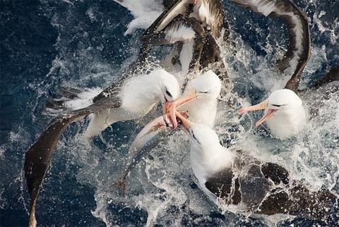 Những con chim hải âu tranh nhau một con cá ở phía nam Thái Bình Dương. Tác phẩm đoạt giải nhất thể loại Loài có nguy cơ tuyệt chủng. Ảnh: Tomasz Racznyski (Ba Lan).
