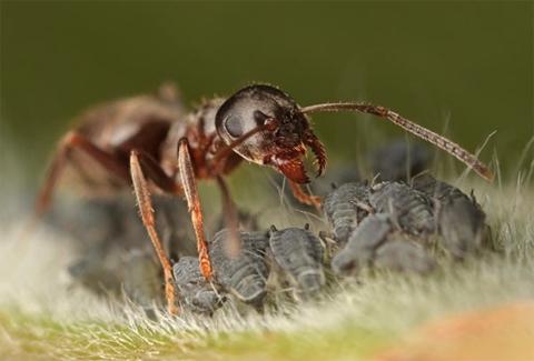 Con kiến chăn đàn rệp để hút chất ngọt mà rệp tiết ra. Ảnh: Matt Cole (Anh).